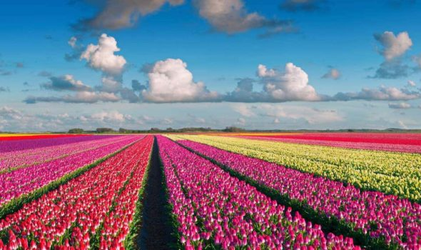 Tulip fields The Netherlands