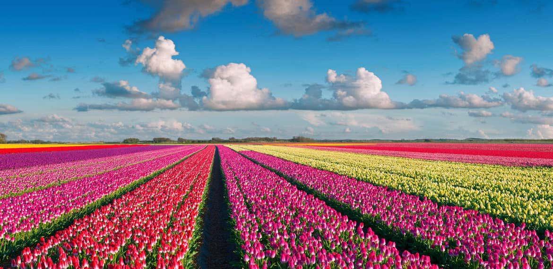 Tulip fields The Netherlands